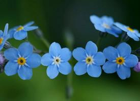 清新的勿忘我花卉護眼壁紙圖片