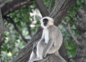 有趣可爱的长尾叶猴图片欣赏
