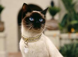 纯种成年暹罗猫图片