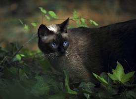 暹罗猫高清猫咪图片