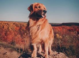 大金毛的毛色和秋天真的是很配哦