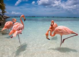 阿鲁巴岛上的火烈鸟 ? ????