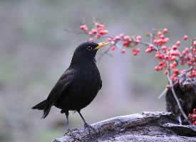 一组黑黑的乌鸫鸟图片