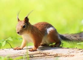 一组四肢灵活,行动敏捷的小松鼠