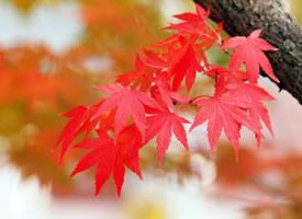超美秋季红枫叶图片桌面壁纸