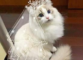 一組萌萌噠的波斯貓圖片
