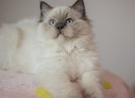 一組頑皮可愛的布偶貓圖片