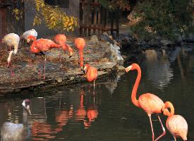 动物园里的火烈鸟觅食图片