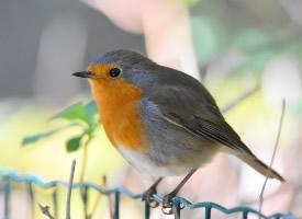 精致可爱的知更鸟图片