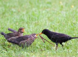 乌鸫鸟喂食的图片