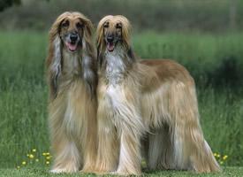时尚而复古的阿富汗猎犬图片