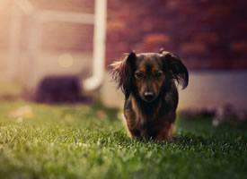 一組憨厚有趣的獵場犬圖片欣賞