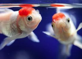魚缸里的兩條小金魚圖片