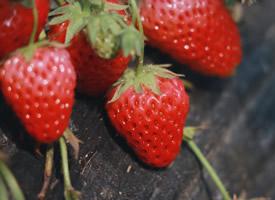 一組草莓園里的草莓圖片大全