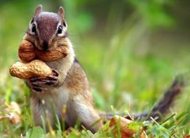 一组正在吃花生坚果的小松鼠图片欣赏