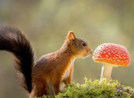 在草地里開心玩耍的小松鼠圖片欣賞