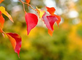 艷麗優美的紅葉植物桌面壁紙圖片