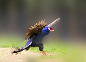 一組珍貴稀有的藍馬雞圖片欣賞