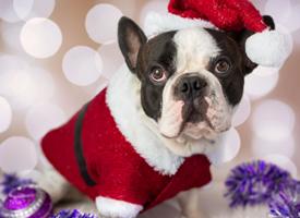 超級萌寵圣誕狗狗斗牛犬可愛圖片