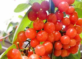 成熟應季水果的小櫻桃圖片欣賞