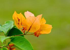 花色各异的唯美三角梅图片欣赏