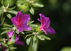 一组淳朴自然的杜鹃花图片欣赏