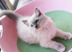 可愛的布偶貓咪圖片