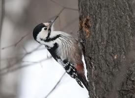 白背啄木鸟图片