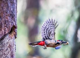 树上的大斑啄木鸟图片