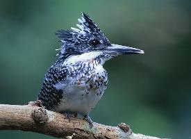 一组啄木鸟高清图片欣赏