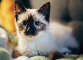 短毛宠物猫纯种的暹罗猫图片