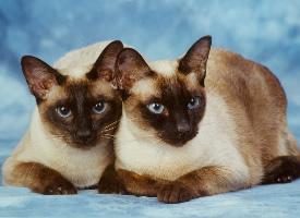 贪玩的暹罗猫图片