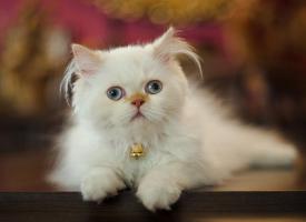 討人喜愛的波斯貓圖片