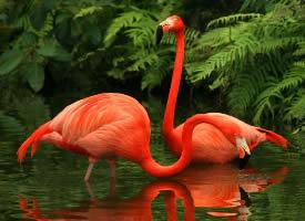 漂亮美丽的火烈鸟图片