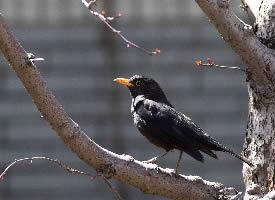 乌鸫是瑞典的国鸟