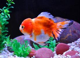 活潑可愛的金魚圖片