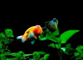 簡單靈動的小金魚