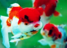 清新可愛的小金魚