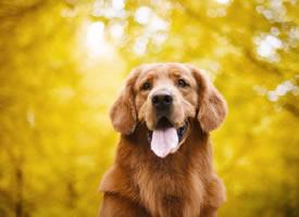 一組唯美金黃色秋景下的狗狗圖片