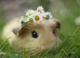 一组可爱圆鼓鼓的荷兰仓鼠图片欣赏