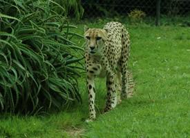 英勇兇狠的野生獵豹圖片欣賞