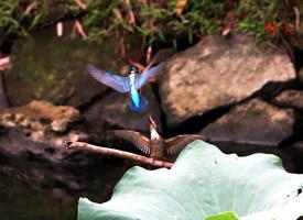 兩只翠鳥嬉戲爭斗的圖片欣賞