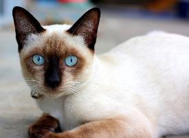 盯著你看的暹羅貓高清圖片