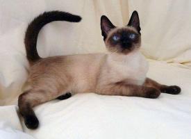 高价格的暹罗猫图片