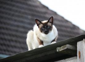 机警的暹罗猫图片