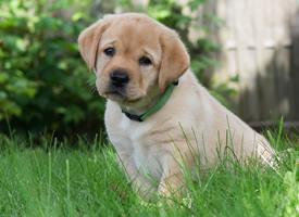 一組超可愛溫順的金毛尋回犬幼犬圖片