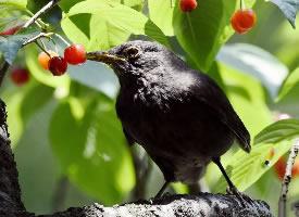 乌鸫鸟吃果子的图片
