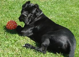 一組帥氣黑色的猛犬卡斯羅圖片