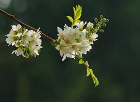 纯洁美丽的文冠果花图片欣赏