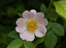 浪漫唯美的白色野玫瑰花图片